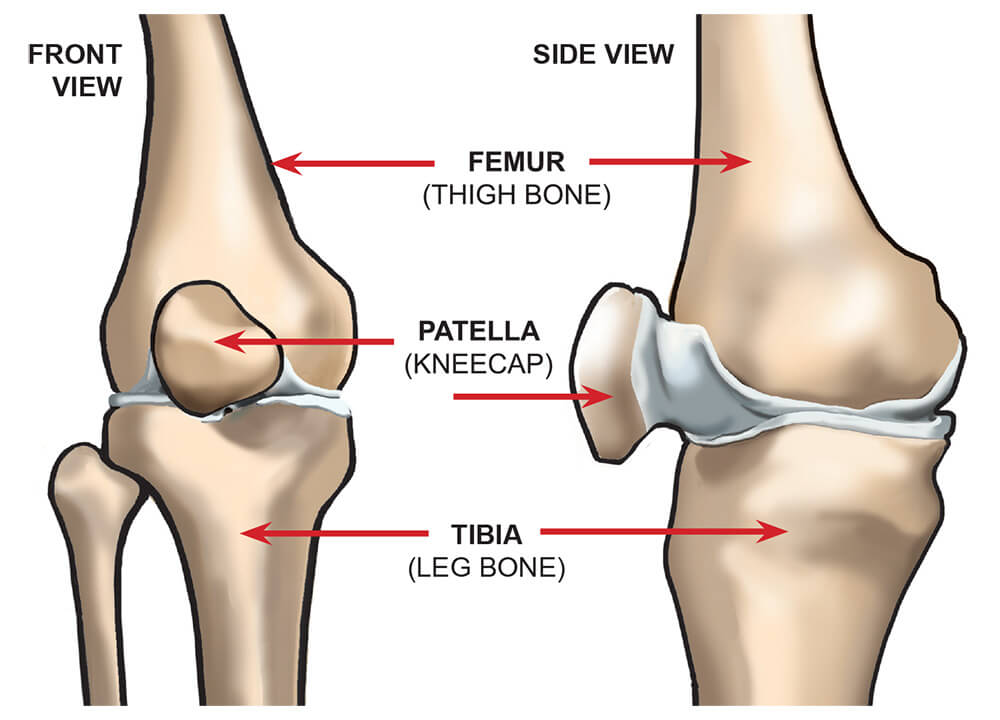 knee anatomy - bones and parts of the legs and knee joint