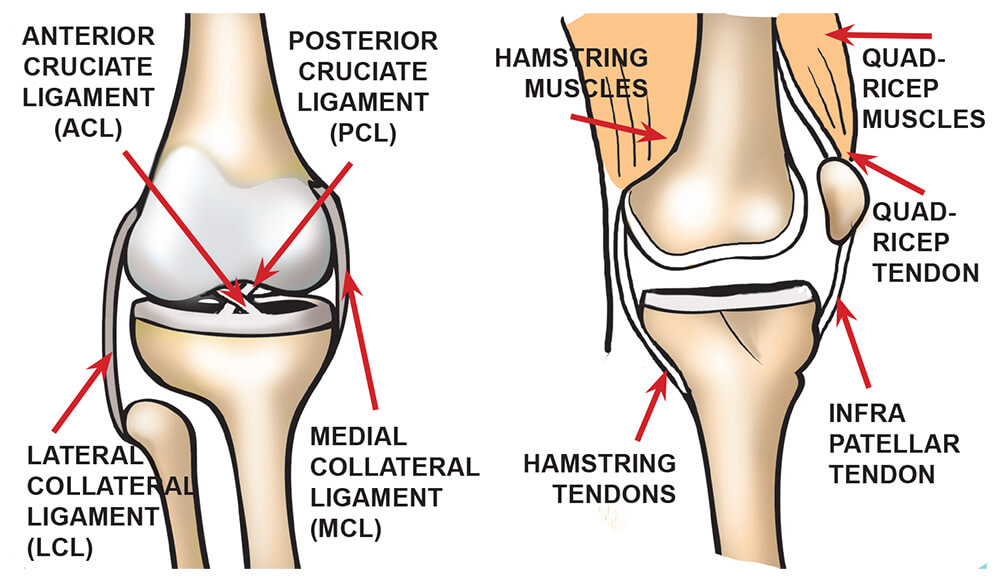diagram of knee ligaments and muscles